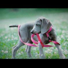 ador pet, anim, alllet walk, weimaraner, puppies, weimaran cont, old dogs, weimaran puppi, timey weimi