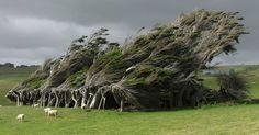 New Zealand Wind Swept Trees