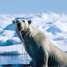 See polar bears in the wild