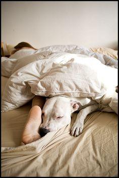 sleeping Pittie