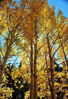 Aspen trees in Colorado!