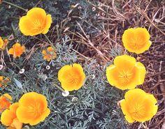 Yellow Poppy  Anne of Avonlea, p 141