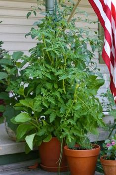 Still trying to grow tomatoes in containers. More helpful info at http://www.tomatodirt.com/growing-tomatoes-in-pots.html.