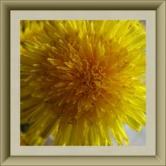 Dandelion - The Lion's Tooth