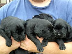 Black lab puppies... and other cute puppy photos!