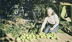 Growing Chayote - Organic Gardening - MOTHER EARTH NEWS