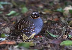 The Rufous-throated Partridge (Arborophila rufogularis) is found  in subtropical or tropical moist lowland forests and subtropical or tropical moist montane forests.