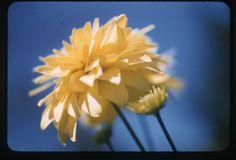 Lyonel Feininger, Yellow flower + sky, 1940s-1950s, Harvard Art Museums/Busch-Reisinger Museum. yellow flowers, museumsbuschreising museum, art museumsbuschreising