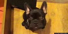 French bulldog puppy arguing about bedtime. So cute!
