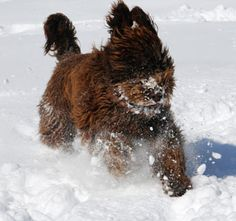 Barbet, French water dog.