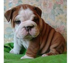 English Bull Dog Puppy