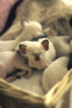 Siamese kittens <3