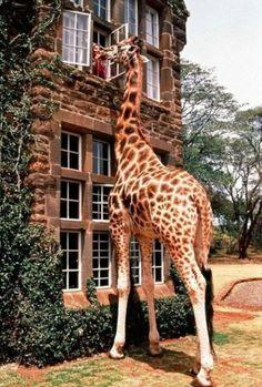 anim, window, dream, pet, south africa, giraff manor, place, hotels, giraffes