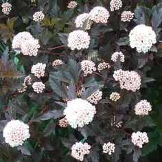 Ninebark  Name: Physocarpus selections  Growing Conditions: Full sun to part shade; well-drained soil  Size: 5-10 feet tall and 5-15 feet wide  Zones: 3-7