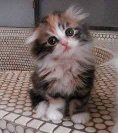 long haired scottish fold kitten .  I would love a Scottish Fold baby in my home.