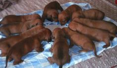 Hungry doxie puppies #cute