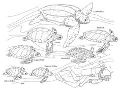Sea turtles coloring page