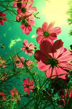 field, pink flowers, cosmo, color, green, angl, light, flowers garden, garden plants