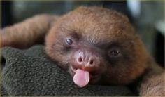 Baby sloth :)