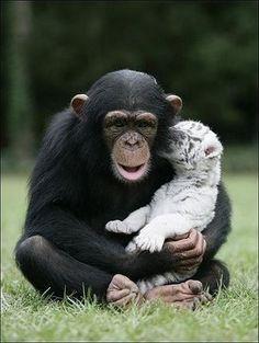 chimpanzee and tiger cuteness:)