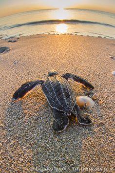 Baby Sea Turtle Sunrise