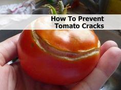 How To Prevent Tomato Cracks