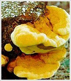 mushroom magic, cancer fighter