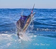 Sailfish on Fly