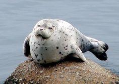 tags, seals, animals, smile seal, happi seal, profile pictures, ador anim, rocks, anim pic