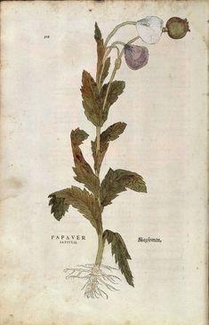Papaver satiuum: Leonhart Fuchs, De historia stirpium commentarii insignes...1542.