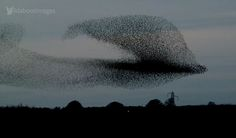 10,000 Starling show in Scottland - for the video: http://vimeo.com/79911232