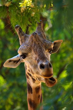 Giraffe in a green forest! <3