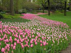 tulips central park - New York #newyork #tulips