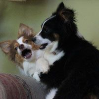 Adopted from Hulls Haven Border Collie Rescue.
