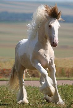 A two-year-old buckskin and white colt/stallion, with a pearl gene, hence his lighter colouration and blue eyes.