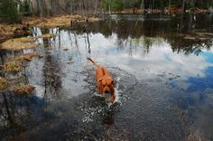 Who said Rhodesians don't like the water? water, pet, rhodesian