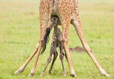 Girafon sous les pattes de sa Maman - Paul Goldstein, guide et Photographe Animalier, a passé ces dernières années à photographier le Masai Mara, une réserve naturelle au Kenya célèbre pour ses lumières et sa population d'Animaux Sauvages.