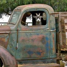 goats, farmer, old trucks, yard art, farm life, company picnic, the farm, rust, country