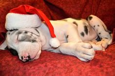 pooped holiday #pup! happi holiday, dane puppi, christma dog, christmas baby, holiday dog, christma holiday, christma critter, ador anim, happy holidays
