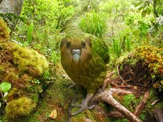 The Kakapo is a critically endangered nocturnal, parrot in New Zealand, weighs 4.5 - 9 lbs and is the only flightless parrot in the world.  Photo by Shane Mcinnes, nationalgeographic #Bird #Kakapo #New_Zealand #ShanMcinnes #nationalgeographic