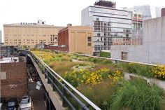 highline nyc / grasses mixed with yellow 'rudbeckia subtomentosa'