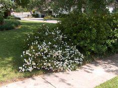 "gardenia jasminoides ""radicans"" - Google Search"