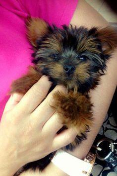 Yorkie pup yorkshir terrier, yorki pup, cutest anim, yorki obsess