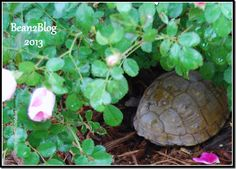 turtle at Moss Mountain Farm with P. Allen Smith  #bean2blog ©diningwithdebbie.blogspot.com