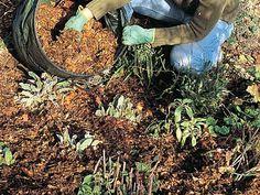 www.rustica.fr - Les feuilles mortes valent de l'or - Pailler les massifs et les haies