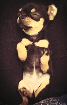 short hair chihuahua puppy http://tipsfordogs.info
