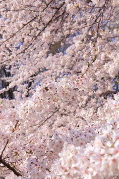 SAKURA(Cherry blossom)/ Kinuta Park, Setagaya, Tokyo