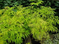 4. Enliven foundation plantings. With its feathery appearance and finely cut foliage, Golden Elderberry (Sambucus racemosa Sutherland Gold, zones 3 to 8) makes a good choice for foundation plantings in shade, and it tolerates wet conditions.