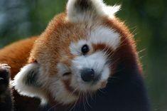 Red Panda ;)