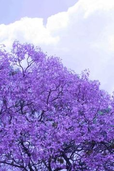Beautiful jacaranda trees are in full bloom is Sydney during spring and form violet carpets with their falling flowers.